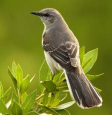 Like Birdsong