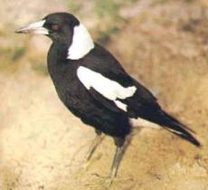 Magpies are another story