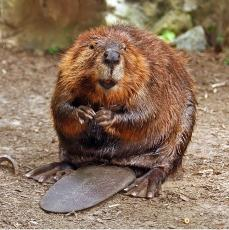 Thaddeus the Beaver
