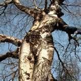 Arborphilia