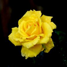 Happy yellow rose....