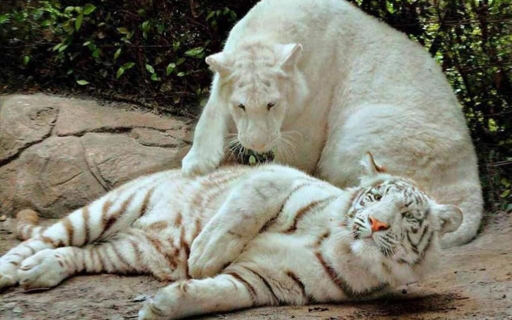 Картинки белых львов и тигров