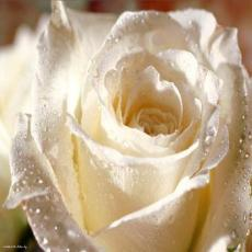 Your Love Is Like a White Rose