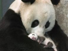 Why the Giant Panda is a Small Species