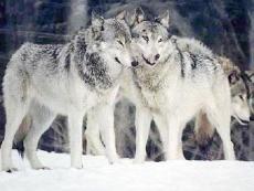 Wolves An old poem