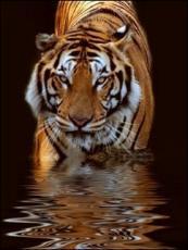 Parasitic Tigress