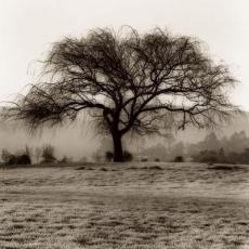 a single willow tree