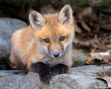 Scarlet Fox