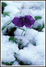 Violets under the Snow