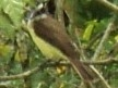 THE GUYANA KISKADEE
