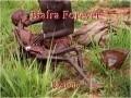 Biafra Forever