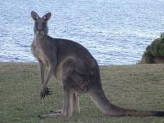 Rural = Kangaroos