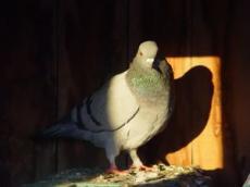 Bobbie the Poor Dead Pigeon