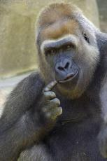 Primer Ape