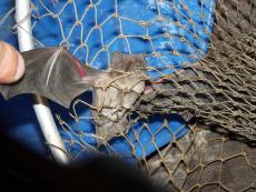 The Bat That I Caught