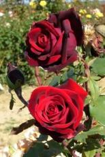 A Tale Of Two Roses