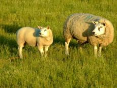 Very Short Story: Sheep Farming 101