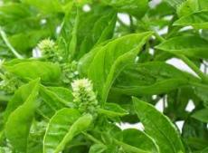 A PROFIL OF 'BASIL' THE ANNUAL HERB