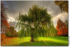 My Weeping Willow Tree