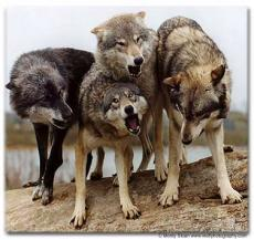 The wolves of Fidicow Meadow