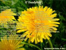 O' Dandylion
