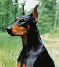 Bad Luck with a Doberman