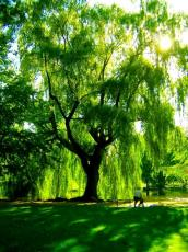 His Weeping Willow