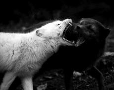 Forbidden Werewolf
