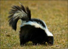 THE SKUNK WHO LOST IT'S FUNK