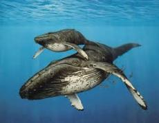 ORCHESTRA OF WHALES