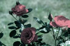 Cutting Roses - Scene #1