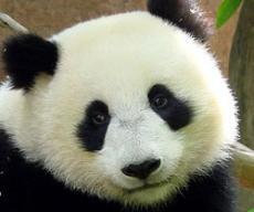 Recipe for Panda Meat