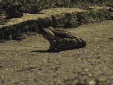 Frogs Not Roadkill