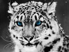 My Snow Leopard*
