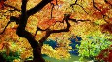 The Maple Tree