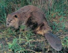 How the Beaver Got a Flat Tail