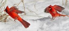 Red Birds Dancing