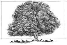 Oh Big old tamarind tree!
