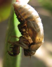 The Sound of Cicadas