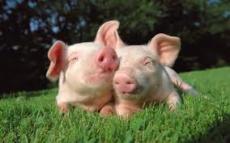 Pigs!???
