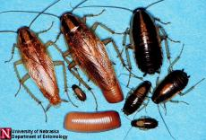 La cucaracha: Rise of the Roaches!