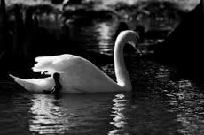 Restless Swans