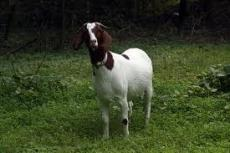 The Adventures of Billy Goat: The Brandywine