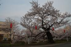 The Cherry Blossoms of Shirakawa