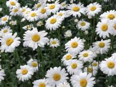 FIELD'S OF DAISIES