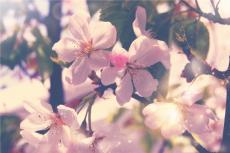 A Wilting Cherry Blossom