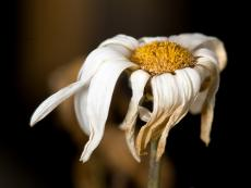 The Withered Flower