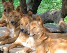 The Dingo of Australia