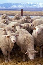M a sheep in a Big seat!