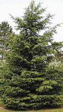 Why the Evergreen tree doesnt lose its leaves